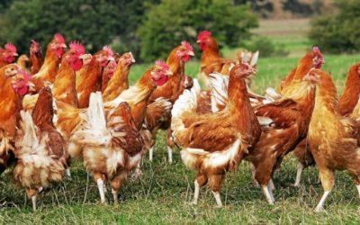 Risque Influenza Aviaire